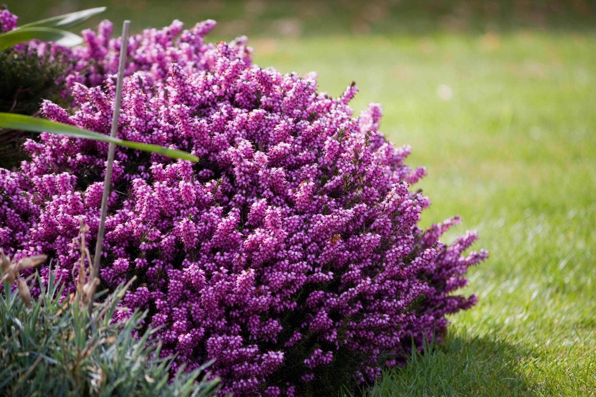 purple-heather-flowers
